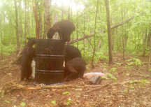 Sow bear and her 3 cubs at 15k bait