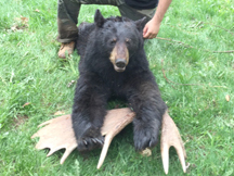 Dan tags this black bear