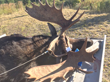 Jim tags a 20pt bull moose in new brunswick