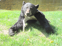 Seans black bear hunt is successful at taxis river outfitters