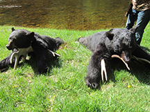 Sean and Larrys black bears guided by taxis river outfitters